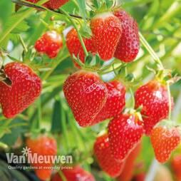 Strawberry Flamenco