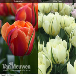 Tulip 'Striking Collection'