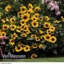 Sunflower SunBelievable? 'Brown Eyed Girl'