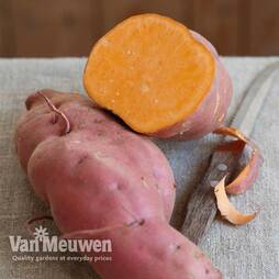 Sweet Potato 'Erato Orange'