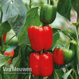 Sweet Pepper 'New Ace'