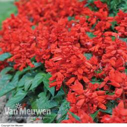 Salvia splendens 'Blaze of Fire'