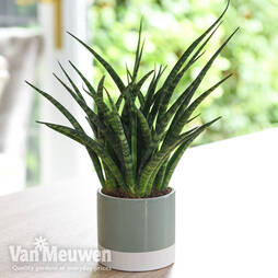 Sansevieria 'Fernwood' (House Plant)