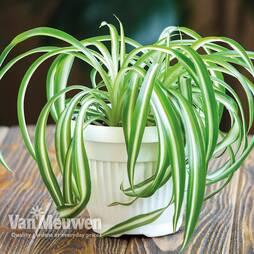 Variegated Spider Plant (Chlorophytum comosum Variegatum)