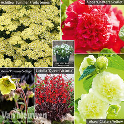 Hot Summer Colour Perennial Collection