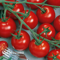 Tomato Piccolino Grafted