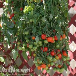 Tomato 'Tumbling Tom Red'