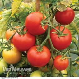 Tomato 'Shirley' F1 Hybrid