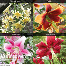 Towering Tree Lily® Collection