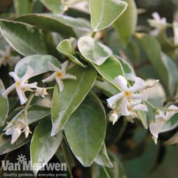 Trachelospermum jasminoides 'Variegatum'