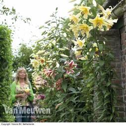 Tree Lily® 'Honeymoon'