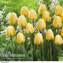 Tulip 'Cream Cocktail'