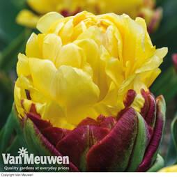 Tulip 'Ice Cream Yellow'