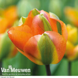 Tulip 'Tangerine Green'