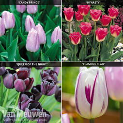 Tulip 'Rockstar Collection'