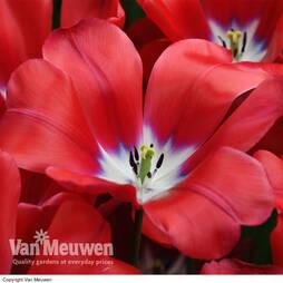 Tulip 'Topgun'
