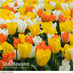 Tulip 'Citrus Mix'