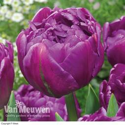 Tulip 'Double Flag'