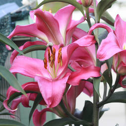 Tree Lily® 'Pink Explosion'
