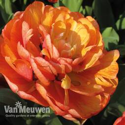 Tulip 'Big Giant'