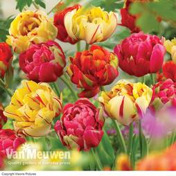 Tulip 'Colour Carpet'