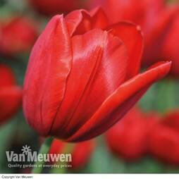 Tulip 'Red Sensation'