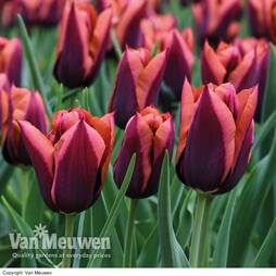 Tulip 'Slawa'