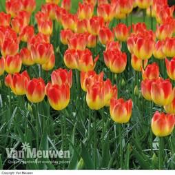 Tulip 'Suncatcher'