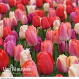 Tulip 'Sunset Shades'