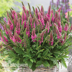 Veronica 'Bubblegum Candles'