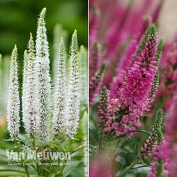 Veronica spicata Candles Duo