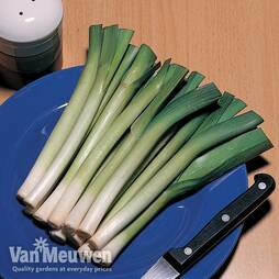 Leek 'King Richard'
