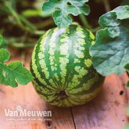 Watermelon 'Mini Love' F1 Hybrid