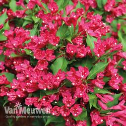 Weigela All Summer Red 'Slingco 1'