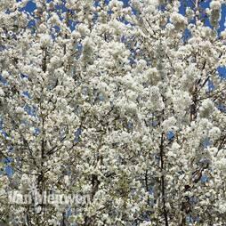 Wild Cherry (Hedging)
