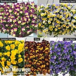 Pansy Coolwave Collection