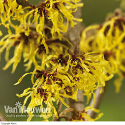 Witch Hazel 'Arnold Promise'