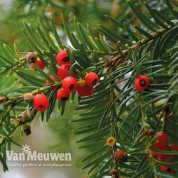 English Yew (Hedging)