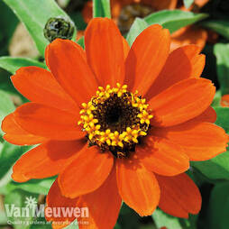 Zinnia x hybrida 'Profusion Orange'