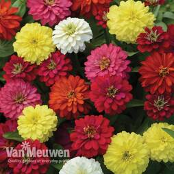 Zinnia 'Zahara Double Mix'
