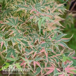 Acer palmatum 'Beni