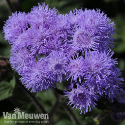 Ageratum 'High Tide'