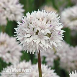 Allium amplectens 'Graceful Beauty'