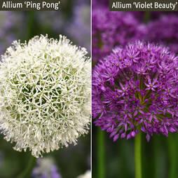 Allium Duo Collection