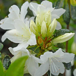 Azalea japonica 'Snow White' (Patio Standard)