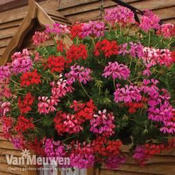 Geranium 'Balcon Mix' Pre-Planted Basket