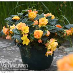 Begonia 'Apricot Shades' Preplanted Pot