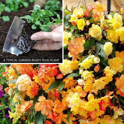 Begonia 'Apricot Shades' (Garden ready)