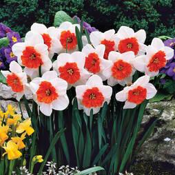 Daffodil 'Bella Vista'