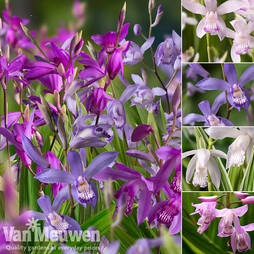 Bletilla Patio Collection